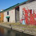 写真: 運河の蔦紅葉
