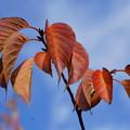 Photos: 桜の葉