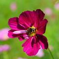 写真: コスモスと蜂