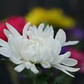 写真: 白い菊