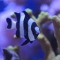 Photos: 熱帯魚