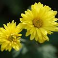 写真: 黄色い菊
