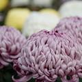 写真: 菊の花