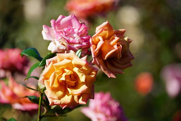 バラの花々