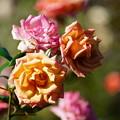 写真: バラの花々