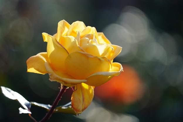 Photos: 黄色バラ