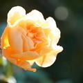 写真: バラの花