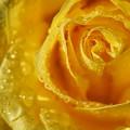 写真: 雨の日のバラ