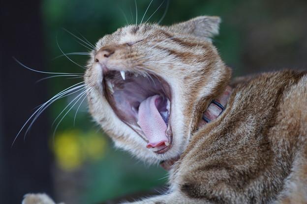 写真: 欠伸する猫