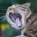 Photos: 欠伸する猫