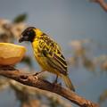 写真: アフリカの鳥