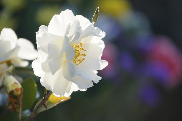 写真: 白いサザンカ