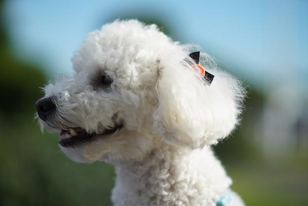 写真: 白い犬