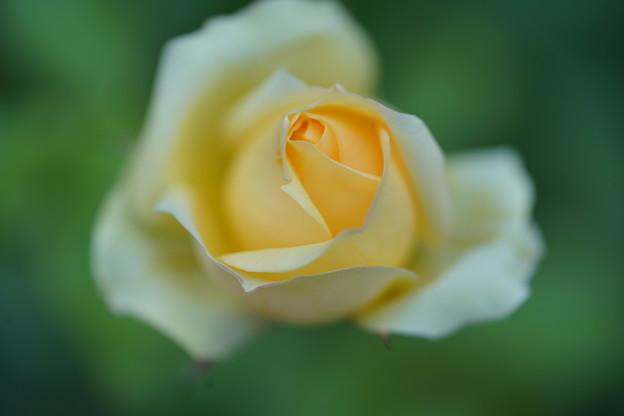 写真: 冬に咲く薔薇