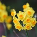 黄色い水仙