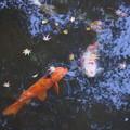 写真: 池の鯉