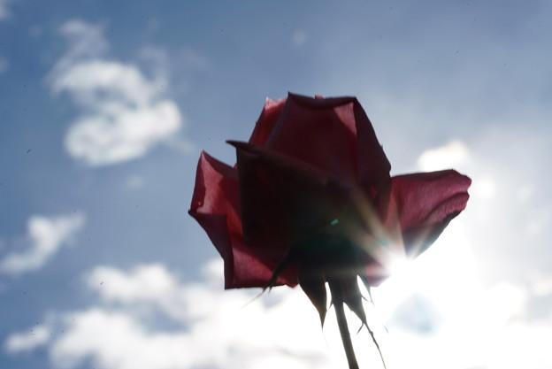 写真: 逆光の薔薇