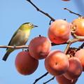 写真: 目白と熟柿