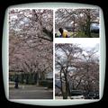 本町公園のサクラ