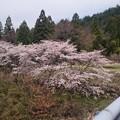 写真: 川沿いの桜2