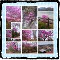 Photos: 恵那峡ツツジ