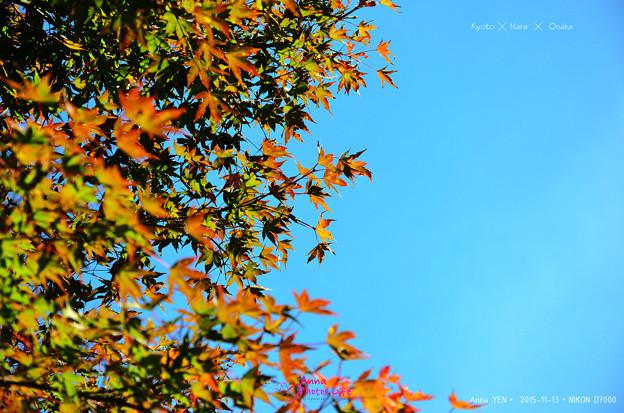 嵐山 楓未紅