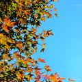写真: 嵐山 楓未紅