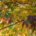 写真: 金色的葉
