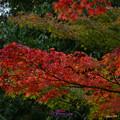 写真: 紅透的葉