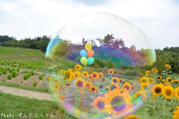 写真: 向日葵からコキアへ