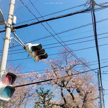 桜と青空と信号、電線、電柱の街角 〜名所が全てじゃない