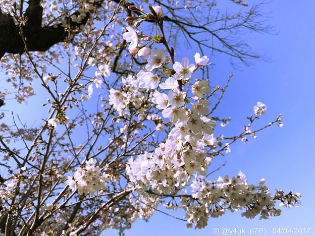Photos: 桜+青空=最高! ~♪嬉しさ余って明日はいとしいライヴに逢える♪