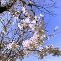 写真: 桜+青空=最高! ~♪嬉しさ余って明日はいとしいライヴに逢える♪