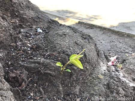 桜の木の下に小さな命2つ 〜new baby 4.4