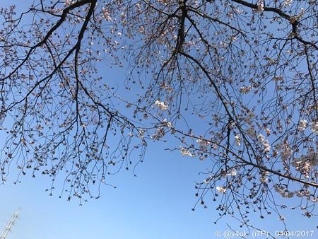 桜と青空と鉄塔が喜んでいる 〜blue sky, cherry blossom, steel tower 4.4
