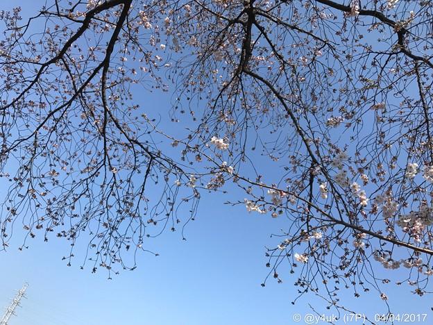 桜と青空と鉄塔が喜んでいる ~blue sky, cherry blossom, steel tower 4.4