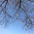 写真: 桜と青空と鉄塔が喜んでいる ~blue sky, cherry blossom, steel tower 4.4