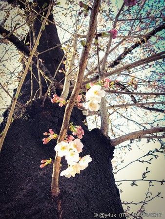 桜の木の桜に 〜happiness 4.4