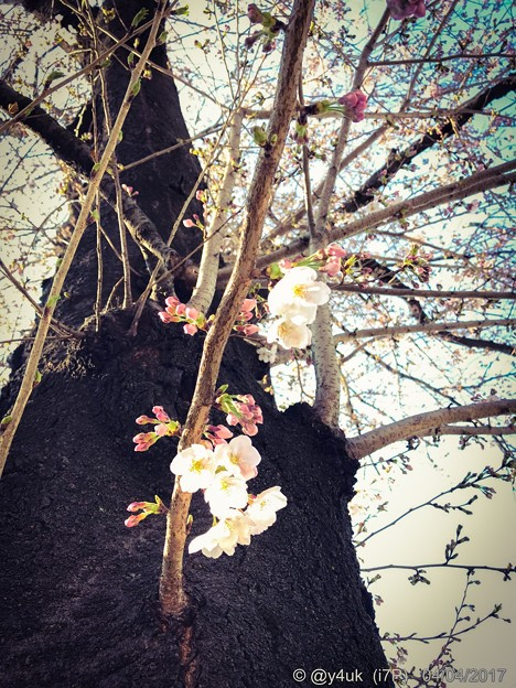 桜の木の桜に ~happiness 4.4