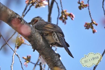 桜を撮ってたら鳥さん出現!〜ズームデジカメのおかげ