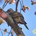 写真: 桜を撮ってたら鳥さん出現!~ズームデジカメのおかげ