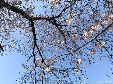 4.4桜の木の真ん中に頭上に… 〜おわかりだろうか?