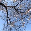 写真: 4.4桜の木の真ん中に頭上に… ~おわかりだろうか?