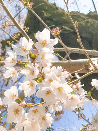 やさしい桜 〜ゆるふわver