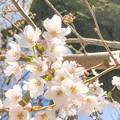写真: やさしい桜 ~ゆるふわver