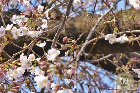 桜の蕾 〜これから生きる
