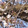 写真: 桜の蕾 ~これから生きる