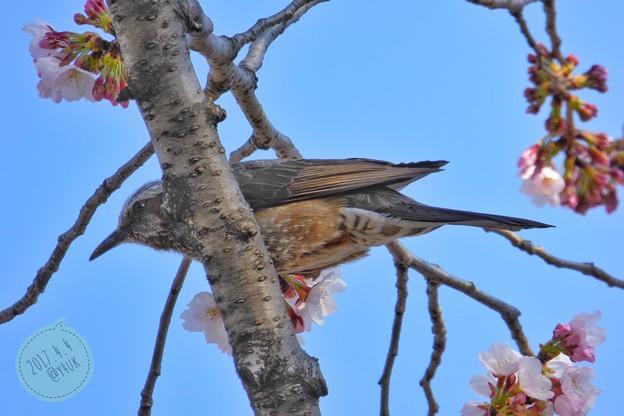 イケメン鳥さん桜食う! ~スクープ写真
