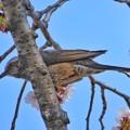 Photos: イケメン鳥さん桜食う! ~スクープ写真