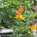 写真: 秋桜に蝶が!~iPhoneで~途中にbutterfly, Go to the animal days